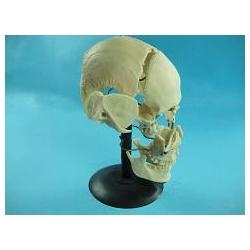 Череп с разрозненными костями, смонтированный на подставке