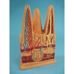 Демонстрационная учебная модель строения кишечной ворсинки