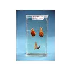 Влажный препарат «Строение брюхоногого моллюска»