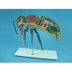 Модель пчелы в разрезе