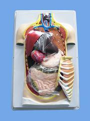 Демонстрационная модель торса человека (разборная, 42см)