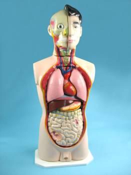 Модель «Торс человека» (65см)
