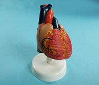 Учебная модель сердца (лабораторная)