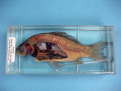 Влажный препарат «Внутреннее строение рыбы»