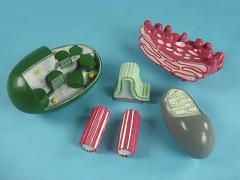 Модель механизма растительной и животной клетки