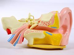 Демонстрационная модель уха из пластика
