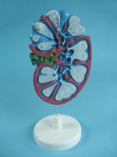 Модель лимфатического узла