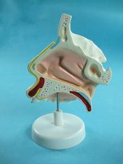 Демонстрационная модель носа в разрезе