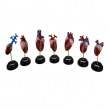 Набор сердец позвоночных животных,   7 моделей Набор сердец позвоночных животных