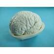 Демонстрационная модель мозга в разрезе