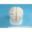 Мозг человека, модель на подставке